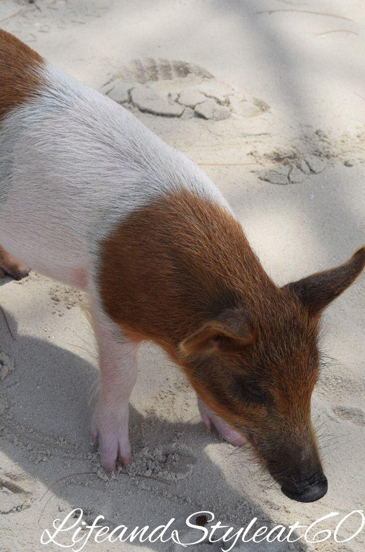 Swimming pig on Abacos, Bahamas