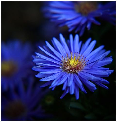 blue asters, one of the flowers listed as my birthflower