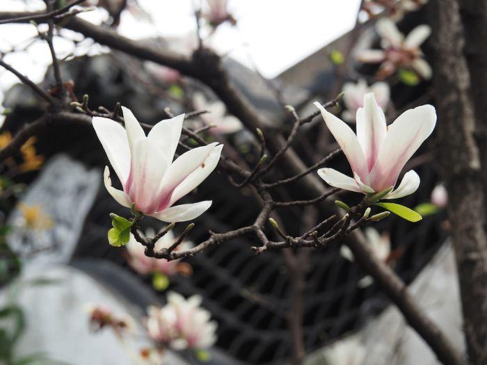 Magnolia denudata | Location: Shanghai, China | Season: Spring (April 2015) | Secret Stone Garden 愛・美麗