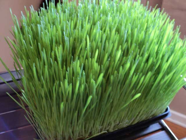 ABC's Of Juicing Wheatgrass: Benefits Of Wheatgrass - http://www.primejuicers.com/abc-of-juicing-wheatgrass/