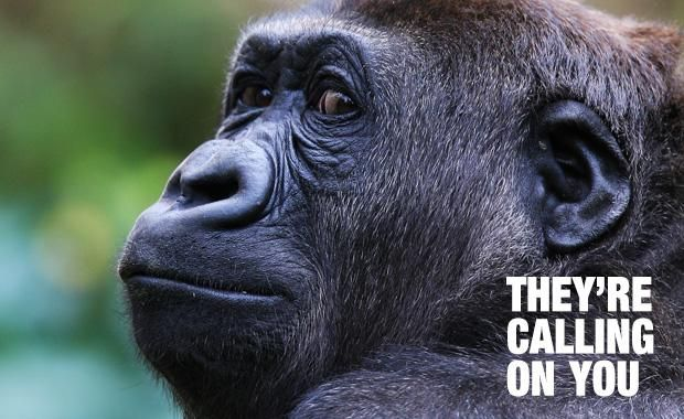 Protect gorillas on the brink of extinction - donate your old mobile phone today!  Mobile phones donated to They're Calling on You raises much needed funds for primate conservation and reduces the demand for conflict minerals, such as coltan.