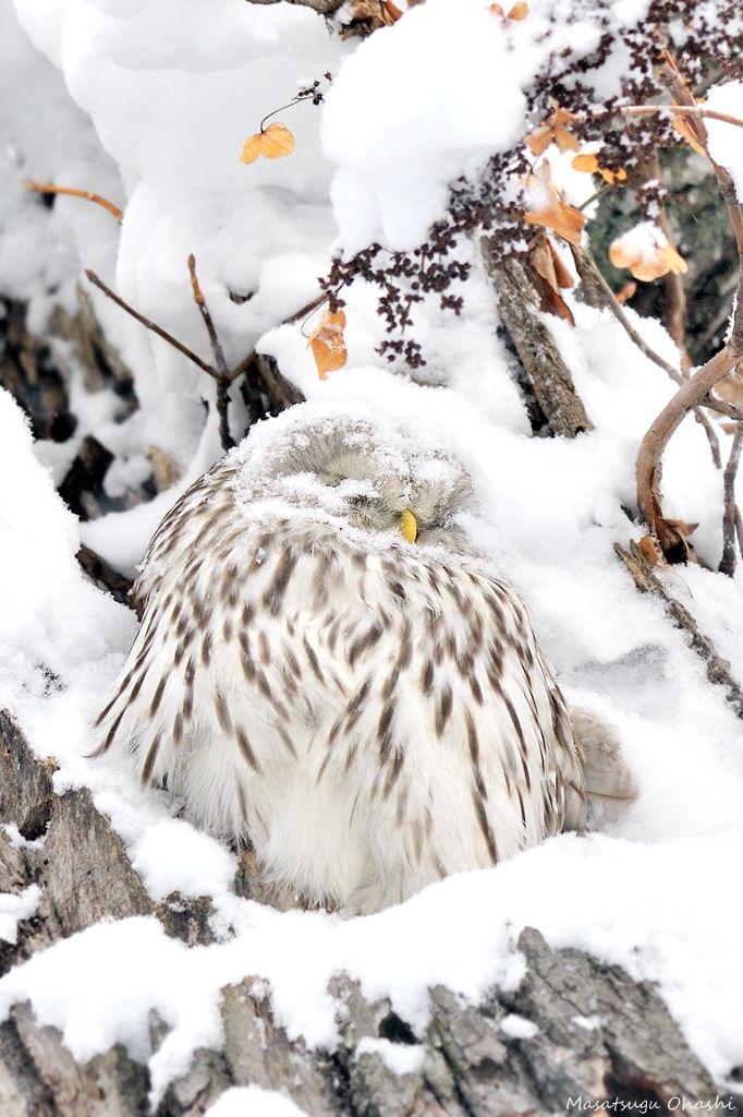 Camouflaged Ural Owl