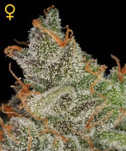 Green House Seeds Kings Kush are a unique hybrid of the OG Kush from Apothecary Seeds and a Grape Ape Original Clone Both strains have gained serious