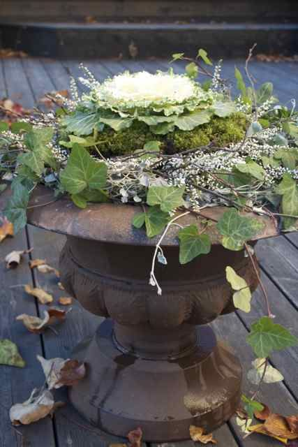 Ornamental Cabbage & Ivy~great for winter