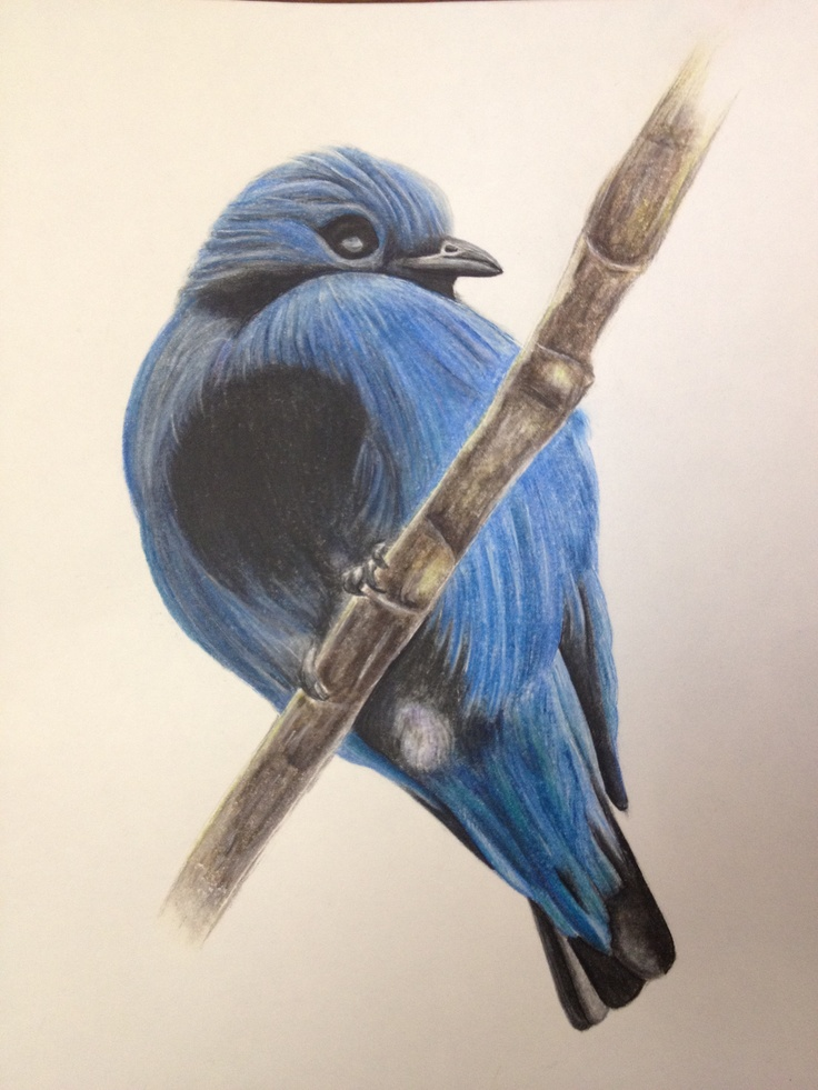 Turquoise Cotinga in colored pencil.