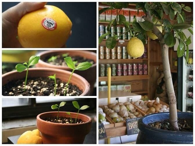 Grow An Entire Lemon Tree, From Just A Seed!