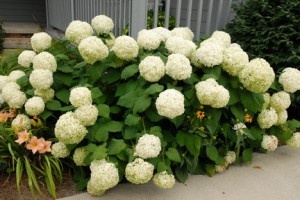 Annabelle HydrangeaBeautiful Flower, Plants Plans, Annabelle Hydrangeas, Flower Shrubs, Flower Gardens, Annabel Hydrangeas, Hydrangeas Annabelle, Gardens Growing, Yards Ideas