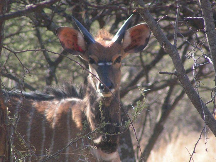 Nyala at Thaba Khaya http://www.thabakhayalodge.co.za/