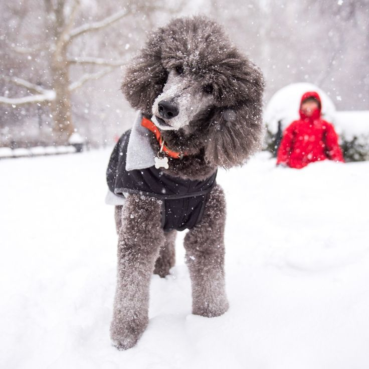 """Plum, Standard Poodle (10 y/o), Washington Square Park, New York, NY • """"As her mother, I can tell you she's the greatest dog of all time."""""""