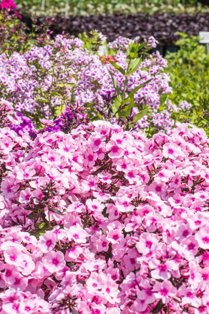 Hohe Flammenblume Bright Eyes - Phlox paniculata Bright Eyes günstig online kaufen #Staude #Blüte #Blume #Garten #Natur #Gestaltung #Pflanze #Sommer #Sonne #Frühling #Schön #Fotografie #Phlox
