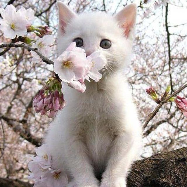 Aww :)Cherries Blossoms, White Flower, Kitty Cat, Blossoms Trees, Spring, Cherry Blossoms, White Kittens, Animal, White Cat