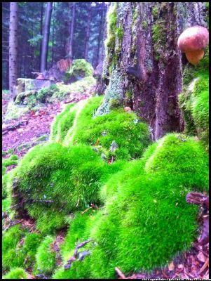 grzyby jadalne - podgrzybek  #grzyby #grzybobranie #borowik #szlachetny #boletus #borowiki #prawdziwki #na-grzyby #kosz-grzybów #las #dary-lasu #forest #natura #przyroda #Polska #Poland #grzyby-jadalne #polskie-grzyby #grzybiarz #Adam #Matuszyk #małopolska #Beskidy #mushrooms #podgrzybek