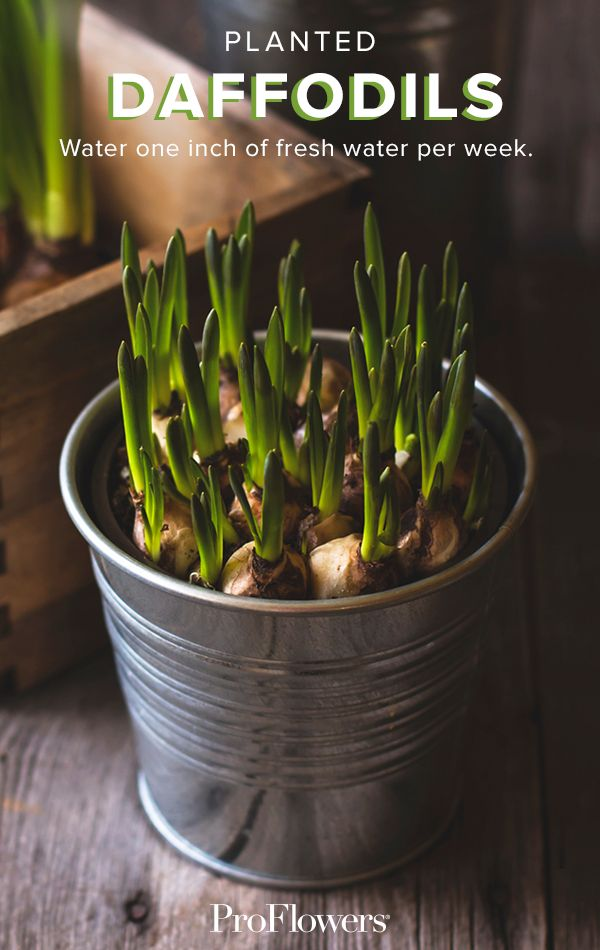 Bring spring indoors with a unique #Daffodil container garden. Learn more creative ways to decorate with these spring beauties!
