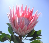 Pink King Protea flower. WOW!!