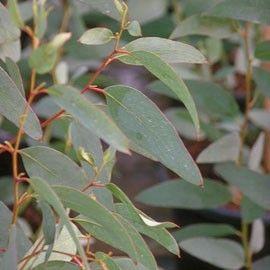 Feuillage unique, vert bleuté, très épais, dégageant un très fort parfum lorsqu'on le froisse.