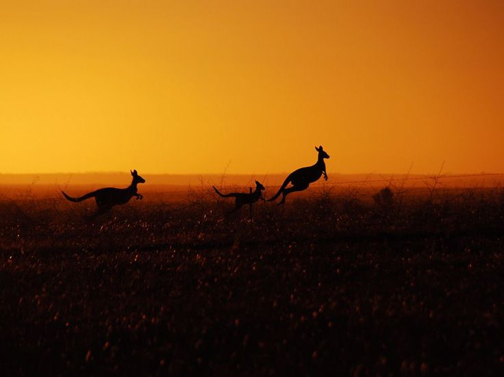 Eastern Gray Kangaroos, Australia - Photograph by Emilien Anglada, Your Shot