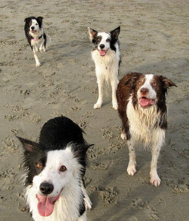 Who doesn't love the smell of wet dog?! | 25 Reasons Why No One Should Ever Have A Border Collie As A Pet