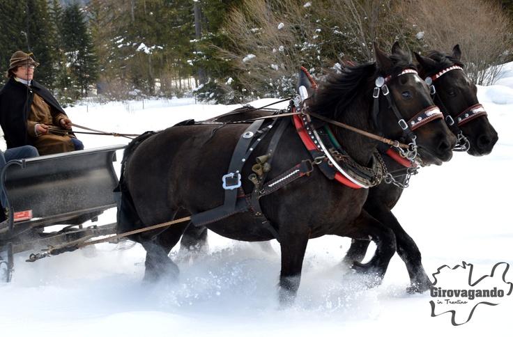 I cavalli Norici erano tradizionalmente usati per il lavoro in campi e foreste