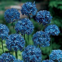 Azure Allium Sensational blue spheres. Hundreds of flax blue florets form perfect spheres 3-4 in. across. Blooms in early summer on imposing 18- to 22-in. stems. Lasts for weeks in the garden or vase. Grows anywhere in shade or sun! 4-5 cm bulbs.
