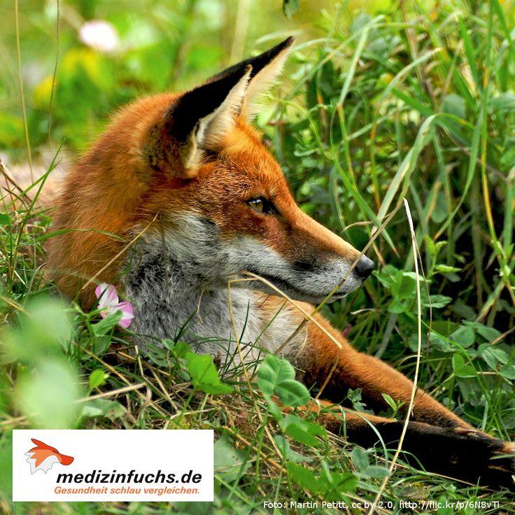 #FuchsFakten: Der #Rotfuchs ist dank seiner Anpassungsfähigkeit eines der erfolgreichsten und am meisten verbreiteten Säugetiere. Denn: Dieser #Fuchs findet in fast allen Lebensräumen Nahrung für sich u. seine Jungen. --- www.medizinfuchs.de - bester #Preisvergleich in #Deutschland für #Medikamente. Bei der Bestellung ihrer #Medizin bzw. #Arzneimittel bis zu 76 % sparen ggü. dem Kauf in der #Apotheke.  #Medizinfuchs vergleicht die Preise von über 180 Versandapotheken: www.medizinfuchs.de/