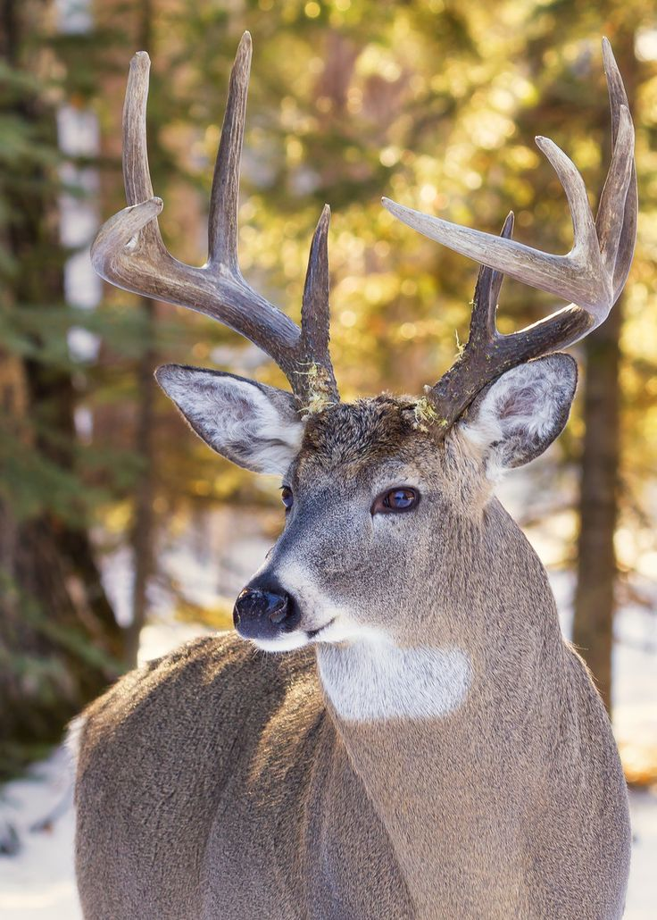 White tail buck                                                                                                                                                                                 More