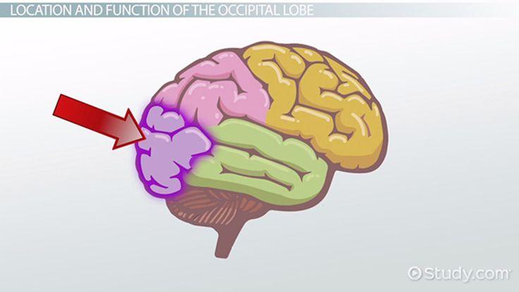 Occipital Lobe: Definition, Location & Function - Video & Lesson Transcript | Study.com