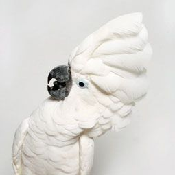 Mollucan Cockatoo Care