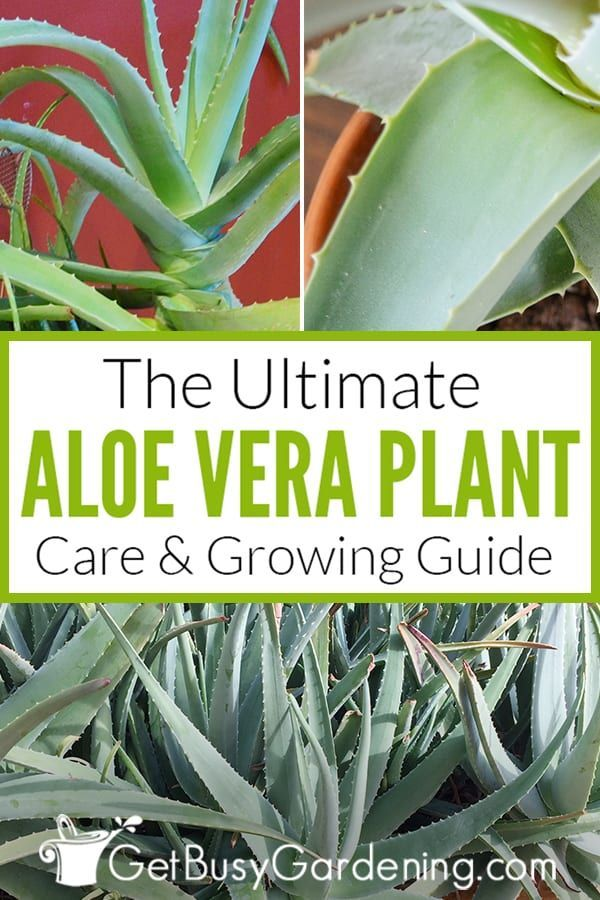 How To Get Rid Of Bugs On Aloe Plants