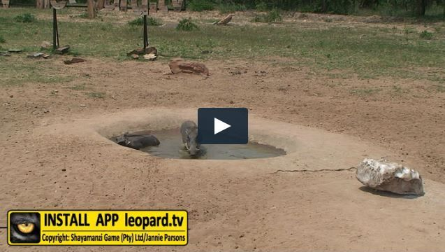 Warthogs are not dependent on surface water; however, when water is available they will drink regularly. Read more about warthogs and watch the video! #leopardtv #africa #wildlife