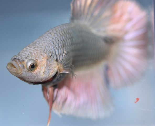 62 best beaches betta fish images on pinterest for Betta fish ick