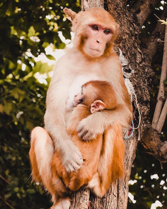 Am Monkey Tempel in Kathmandu muss man aufpassen dass die Affen  einem nichts klauen . Diese Mutter mit ihrem Kleinen hat für uns posiert als würden wir sie für ein Gemälde portraitieren. Dieser nachdenkliche Blick. Was sie wohl denkt? . . Manaslu vs. Annapurna Artikel siehe Bio . . . . . _________________ #nepal #trekking #kathmandu #monkey #monkeytemple #manaslucircuit #manaslu #annapurna #adventures #beautiful #exploring #hiking #hikingadventures #instatravel #travel #travelphotography…