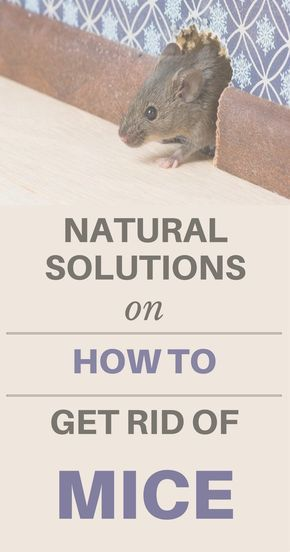 Natural Solutions On How To Get Rid Of Mice