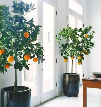 Potted citrus indoors- I had no idea I could do this, but now I want to