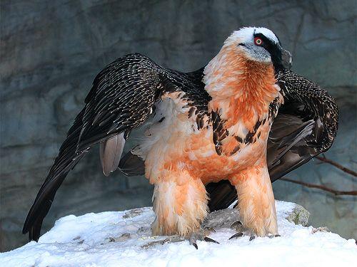 Romania - Zaganul sau Vulturul Barbos (Gypaetus barbatus)