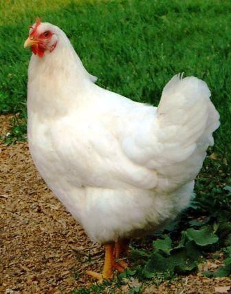 Chooks can benefit from garlic too: Lil Chicken, Chicken Feeding, Chicken Coops, Chicken Care, Chickens Mi Favorite, Chicken Stuff, Chicken Chook Pollo Poulet, Chicken Dreams, Chicken Pens