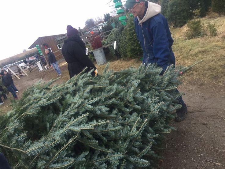 Chopped down our tree 2015 Pringles farm Oshawa
