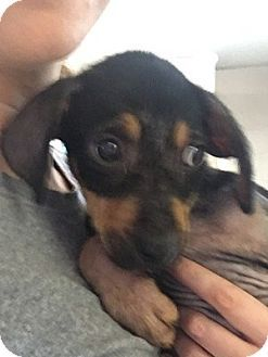 Rockville, MD - Miniature Pinscher Mix. Meet Baby Claire, a puppy for adoption. http://www.adoptapet.com/pet/18269524-rockville-maryland-miniature-pinscher-mix