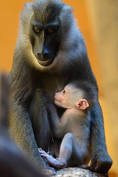 Filhote de macaco mandril no colo da mãe, Kaduna, em zoológico na Alemanha