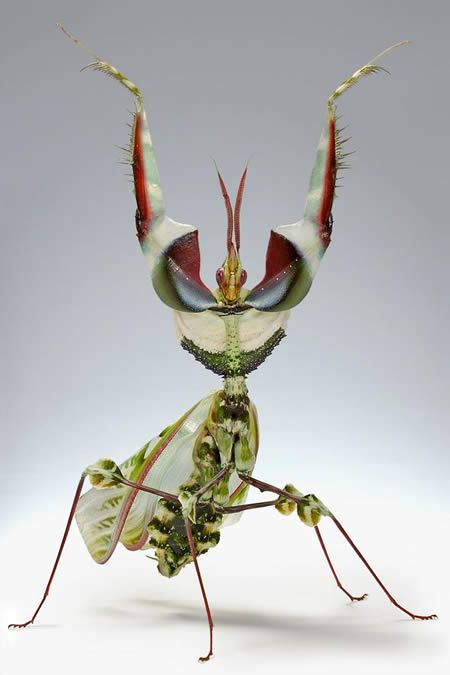 "The Idolomantis Diabolica is sometimes known as the ""King of all mantids"" for the obvious reason: it's beauty, size and rarity, is one of the largest species of praying mantis that mimic flowers. (Photo by: Scott Thompson)"
