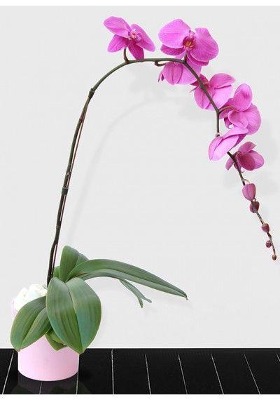 Lavender Phalaenopsis Plant