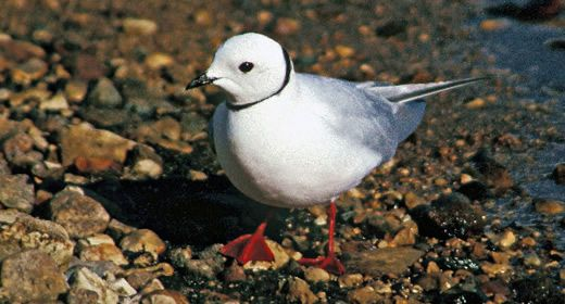The Ross's Gull is a bird of the Arctic pack-ice and tundra. The discovery of it nesting in Churchill brings birders from around the world.