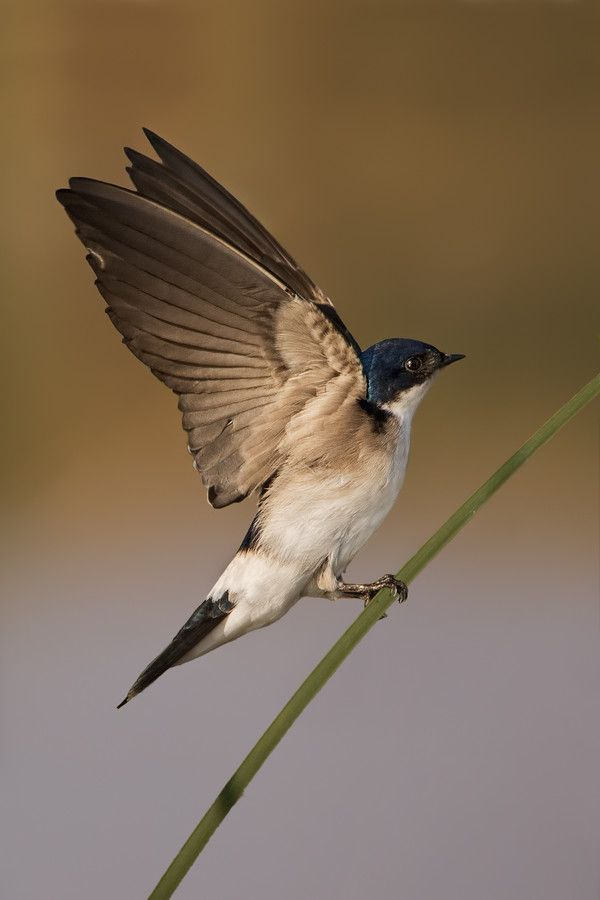 Chilean Swallow by DanielSziklai