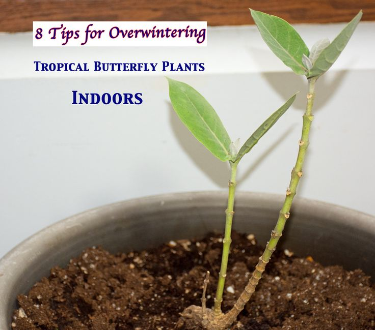 8 Tips for Overwintering Tropical Butterfly Plants Indoors, while Leaving Bugs and Disease Out in the Cold