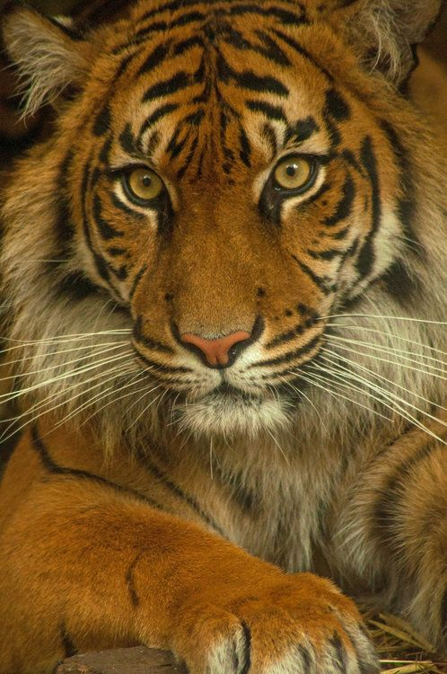 I love the color of this tiger. I also like how his gaze seems to go straight to my heart! :D