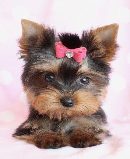 Little Yorkie Puppy <3