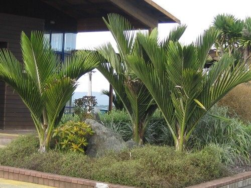 kermadec nikau palms - Google Search