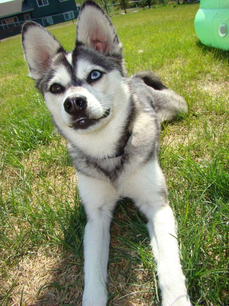 Extrêmement 7 best Chiens images on Pinterest   Alaskan klee kai, Mini huskies  IK52