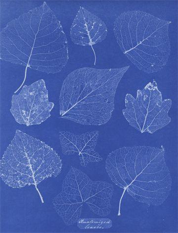 Anna Atkins, Anatomized Leaves (from Cyanotypes of British and Foreign Flowering Plants and Ferns), 1854-1861 Illustratrice de renom Anna Atkins (1799 -1871) est une botaniste britannique. Elle commence à faire paraître en 1841 son ouvrage British Algae: Cyanotype Impressions qui est le premier à utiliser le cyanotype