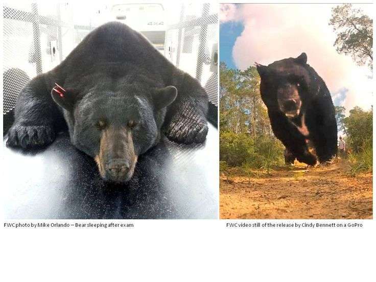 Trappers release largest black bear ever caught in Florida ...