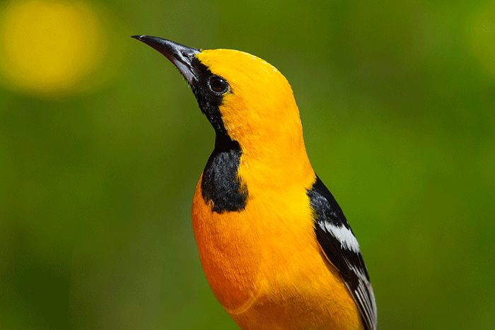 Hooded Oriole portrait, green background with yellow
